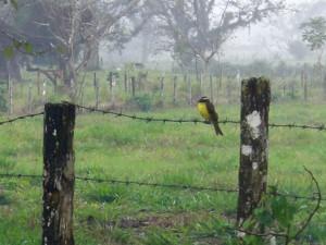 kiskadee bird