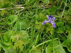 plants and iris