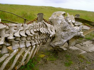 The old grey whale, she ain't what she used to be. Vandals have stolen half the bones.