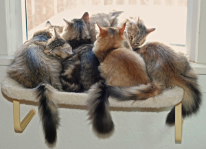 Happy kittens at Glorious Siberians.