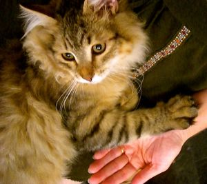 Snorri the Siberian Cat.